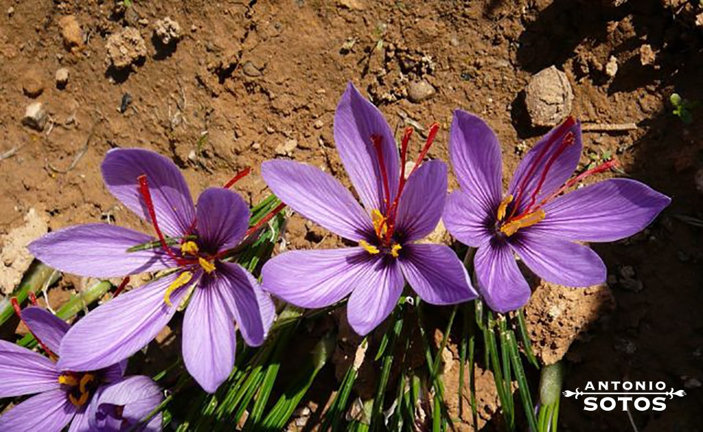 Saffron, the spice against cancer and Alzheimer's