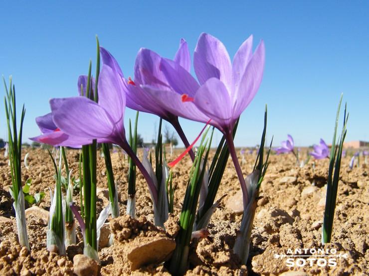 the cultivation of saffron
