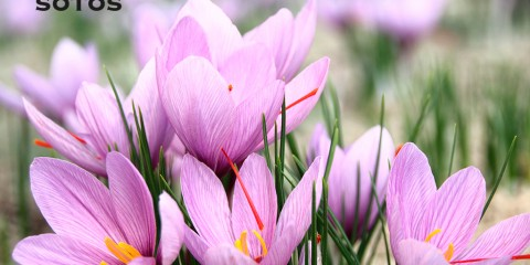 Harvest and monda (the separation of stigma from flower process) from the saffron flower, a sensory spectacle.